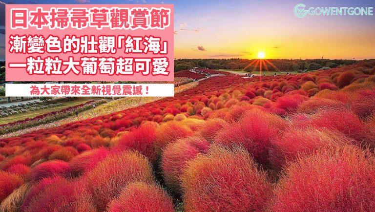 美麗毛茸茸的掃帚草,就像一粒粒大葡萄般可愛!漸變色的「掃帚草紅海」,紅綠交替,十分壯觀,為大家帶來全新視覺震撼!