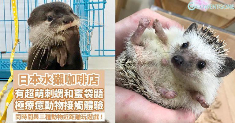 日本萌爆水獺 café,極療癒的動物接觸體驗!!還有可愛的刺蝟和蜜袋鼯,同一時間與三種動物近距離大玩遊戲!