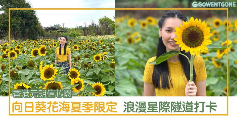 香港元朗信芯園 上萬向日葵朵朵開,一望無際向日葵花海迎夏季,浪漫向日葵隧道及星際隧道打卡,立刻出發奔向花海拍照去~